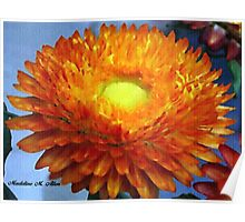 Painted Strawflower Poster