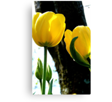 Standing tall! - Yellow Tulips - NZ - Gore - Southland Canvas Print