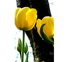 Standing tall! - Yellow Tulips - NZ - Gore - Southland Photographic Print