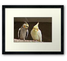 Friends catching up! - Cockatiels - NZ - Southland Framed Print