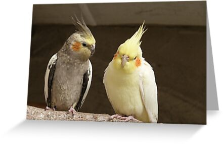 Friends catching up! - Cockatiels - NZ - Southland by AndreaEL