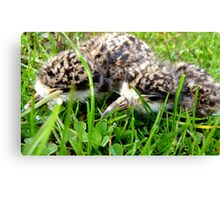 Stay low! - Plover Chicks - NZ - Southland Canvas Print