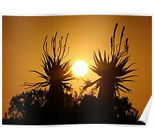 Sunset Aloes Poster
