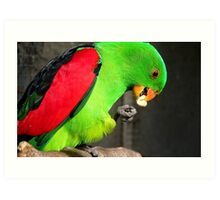 Got to love peanuts! - Red-Winged Parrot - NZ - Gore Art Print