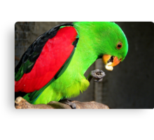 Got to love peanuts! - Red-Winged Parrot - NZ - Gore Canvas Print