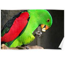 Got to love peanuts! - Red-Winged Parrot - NZ - Gore Poster
