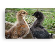 Sibling Heart! - Baby Chicks - NZ - Southland Canvas Print