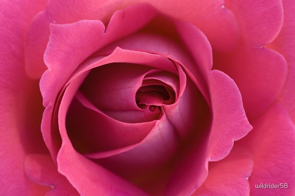Pink rose by wildrider58