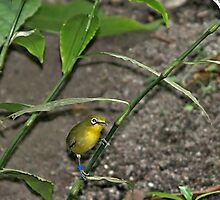 Sulawesi white eye by Daveart