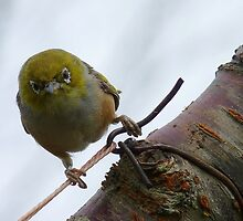 Last WARNING! - Silvereye - NZ - Southland by AndreaEL