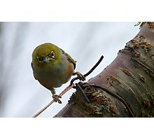 Last WARNING! - Silvereye - NZ - Southland Photographic Print
