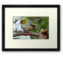 In a Flutter!- Silverye - NZ - Southland Framed Print