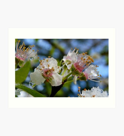 Natures Crystals - Plum Blossoms - NZ - Southland Art Print