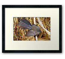 Natures beautiful Fan! - Fantail - NZ - Southland Framed Print