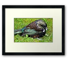 Boy I'm Drenched! - Tui - New  Zealand  Framed Print