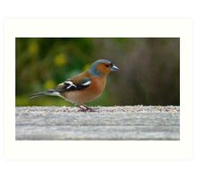 Chaffie comes to visit! - Chaffinch - NZ - Southland Art Print