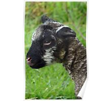 4 Hours Old and walking.. - Baby Lamb - NZ - Southland Poster