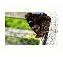 Taking a break! - Red Admiral Butterfly - NZ - Southland Art Print