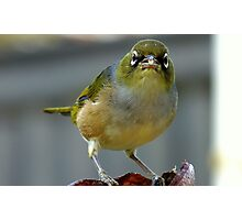 This is what I think of you! - Silvereye - NZ - Southland Photographic Print