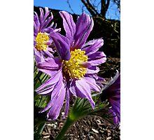 The Colour Lilac- Michaelmas Daisy - Southland Photographic Print