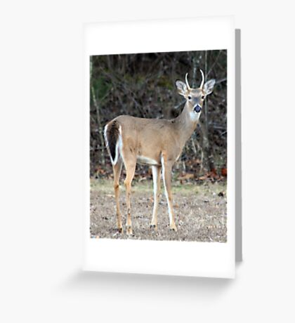 Whitetail Spike Deer Greeting Card