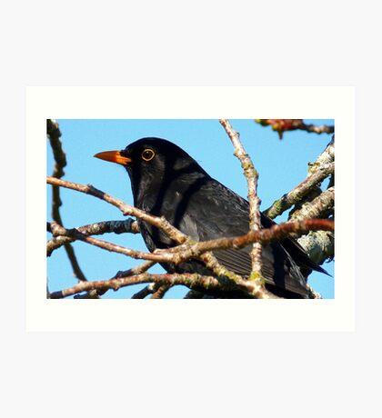 Mr Black! - Blackbird - NZ - Southland Art Print