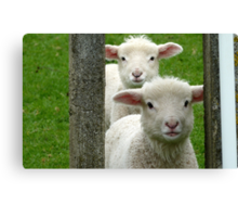 Do we look like Twins! - Lamb - NZ - Southland Canvas Print