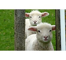 Do we look like Twins! - Lamb - NZ - Southland Photographic Print