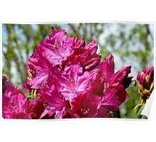 Reaching up - Rhododendron - NZ - Southland Poster