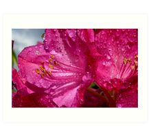 After a shower!  - Rhododendron - NZ - Southland Art Print
