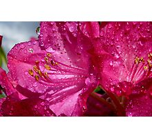 After a shower!  - Rhododendron - NZ - Southland Photographic Print