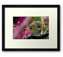 Are you Back again with the camera? - Silvereye - NZ Framed Print