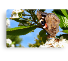Pretty Pose! Red Admiral Butterfly - NZ - Southland Canvas Print
