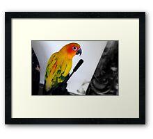 Tripod Pose - Sun Conure - NZ Framed Print