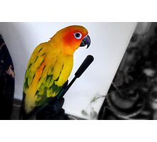 Tripod Pose - Sun Conure - NZ Photographic Print