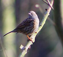 Dunnock by jdmphotography
