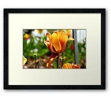 Bronze! - Tulip - NZ - Southland Framed Print