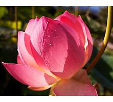 Pink water lily flower photography Photographic Print