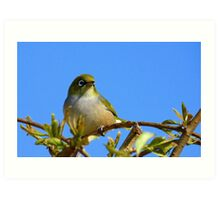 Another glorious day! - Silvereye - NZ - Southland Art Print