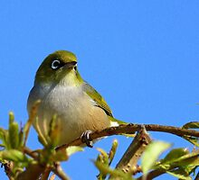 Another glorious day! - Silvereye - NZ - Southland by AndreaEL