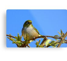 Another glorious day! - Silvereye - NZ - Southland Metal Print