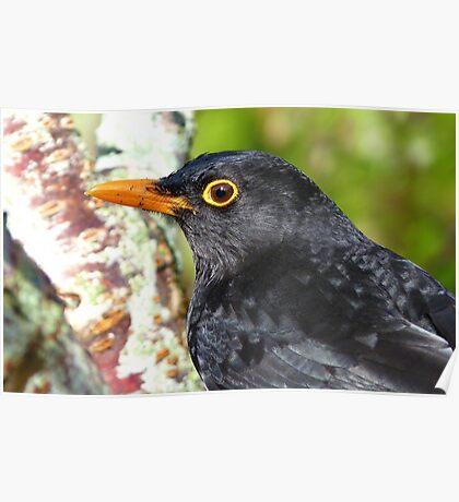 Intense Stare! - Blackbird - NZ - Southland Poster