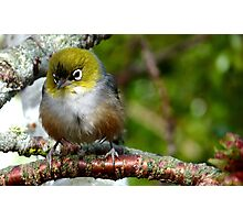 Boy! that was a quick Shower! - silvereye - NZ - Southland Photographic Print