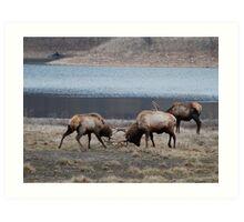 Elk battle and shove for dominance Art Print
