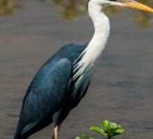 Pied Heron - Yellow Water Billabong - Kakadu National Park Sticker