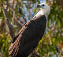 White Bellied Sea Eagle - Yellow Water Billabong - Kakadu National Park Sticker