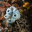 Blue sponge (Euryspongia sp.) - Moonta jetty, South Australia by Dan & Emma Monceaux