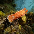 Nudibranch (Ceratosoma brevicaudatum) - Moonta jetty, South Australia by Dan & Emma Monceaux
