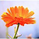 A orange flower by maijo moris