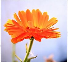 A orange flower by maijo moris